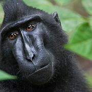 Crested black macaque, Tangkoko National Park, Sulawesi, Indonesia.