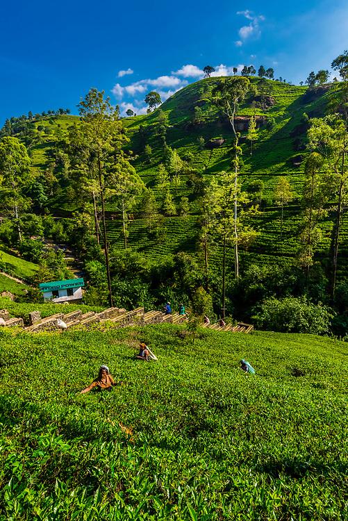 Women picking tea, Mackwoods Labookellie Tea Estate, near Nuwara Eliya, Central Province, Sri Lanka.