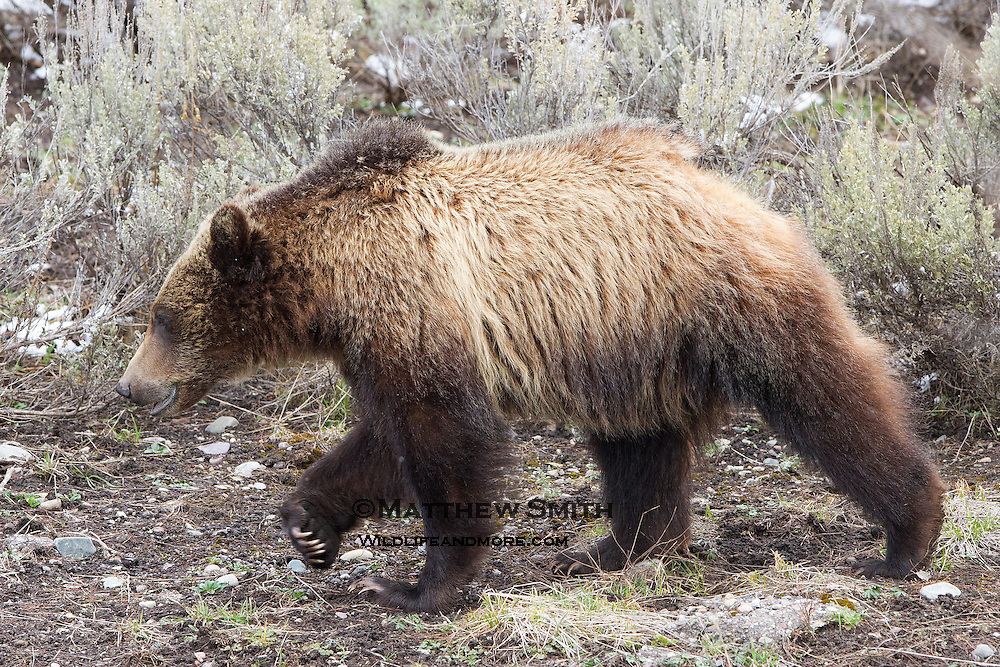 A Grizzly Bear Cub walking in Grand Teton National Park