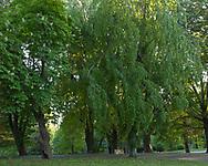 Broughton Hospital Weeping European Beech ( Carpinus betulus pendula )