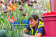 Flowers are organised on the Jaques Amand stand - Preparations for the Hampton Court Flower Show, organised by teh Royal Horticultural Society (RHS). In the grounds of the Hampton Court Palace, London.