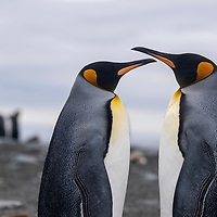 A pair of king penguins in a massive breeding colony at Gold Harbour on South Georgia Island.
