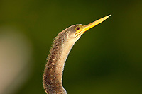 Anhinga (Anhinga anhinga),  Wakodahatchee Wetlands, Delray Beach, Florida, USA   Photo: Peter Llewellyn