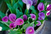 Calla Lilies, Magenta Flower, beautiful, Balboa Park, San Diego, Ca