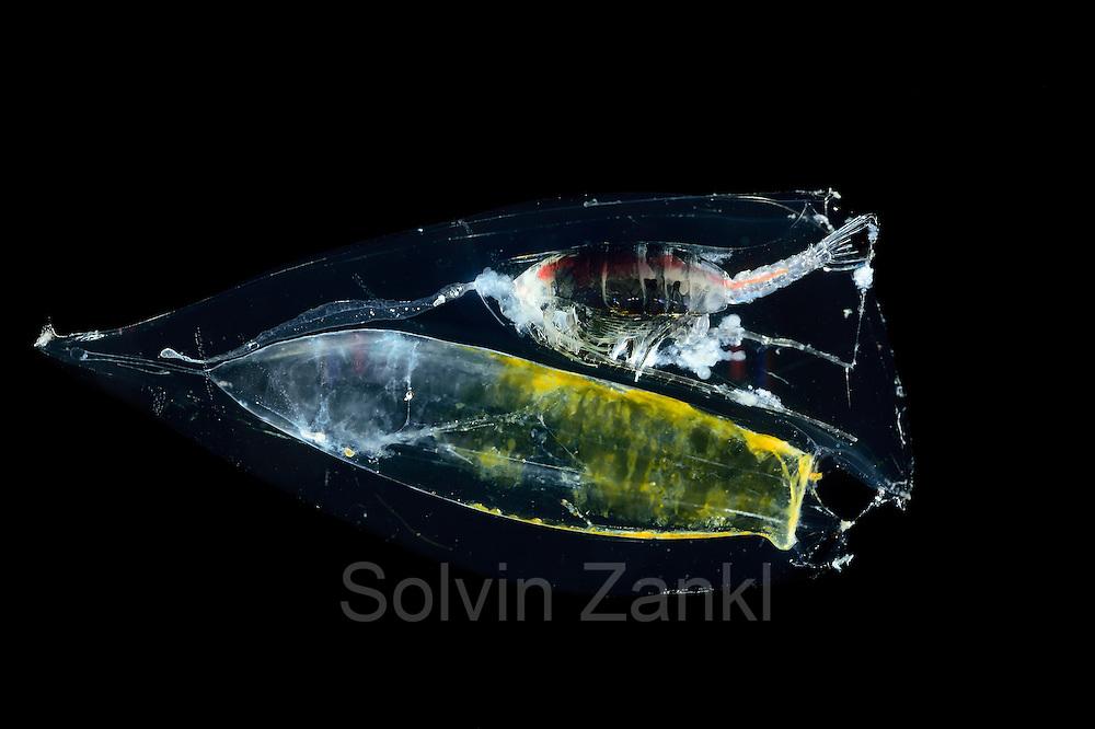[captive] calycophoran siphonophore (Chelophyes appendiculata) eating copepod (Gaussia princeps). Atlantic Ocean, close to Cape Verde | Staatsqualle Atlantischer Ozean, nahe Kap Verde