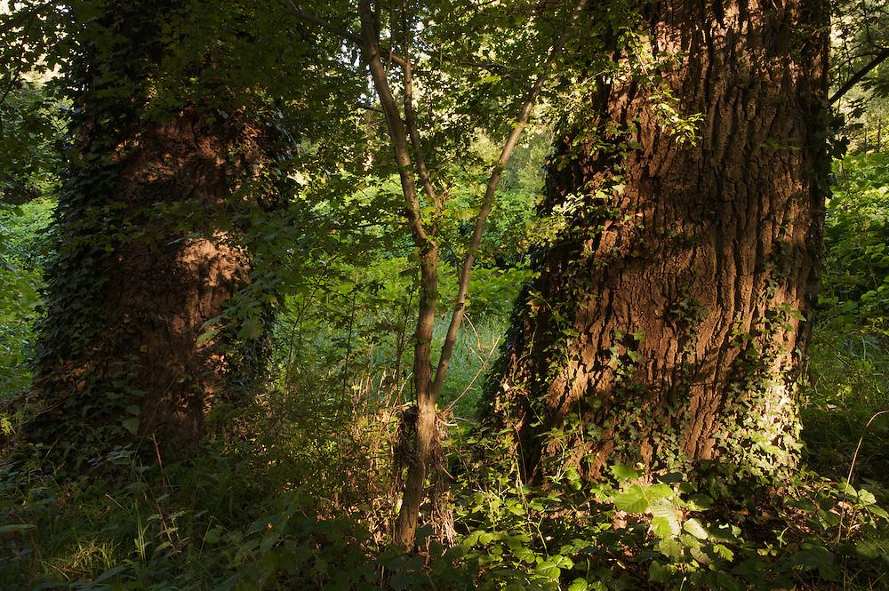 Old Poplar (Populus spec.) trees at the river Allier. Pont-du-Chateau, Auvergne, France.