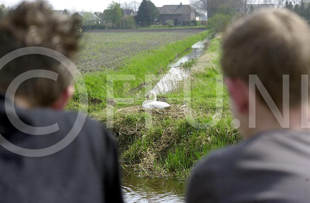 060425, dedemsvaart, ned,<br /> Zwaan zit te broeden langs het kanaal aan de Langewijk in Dedemsvaart, Mensen kunnen het zo goed gadeslaan,<br /> fotografie frank uijlenbroek&copy;2006 michiel van de velde