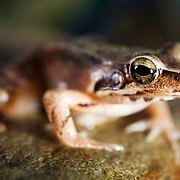 This Montane brown frog (Rana ornativentris) is endemic to Japan. ヤマアカガエル