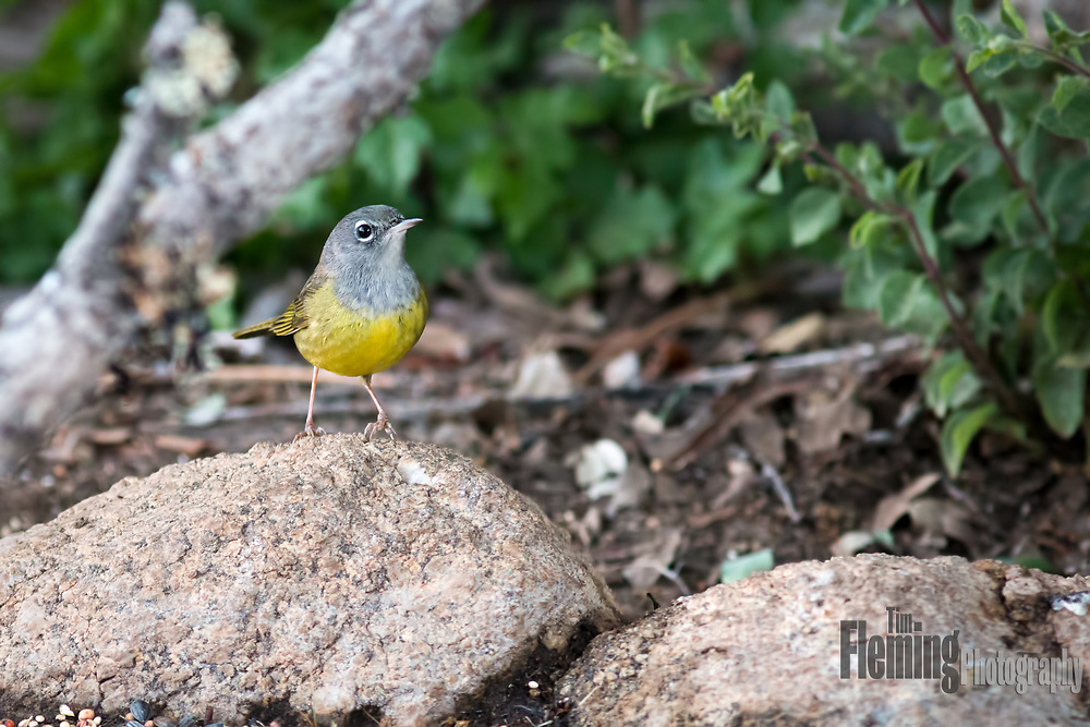 MacGillivray's Warbler, a secretive bird of forest edges, perched on rock in Central California.