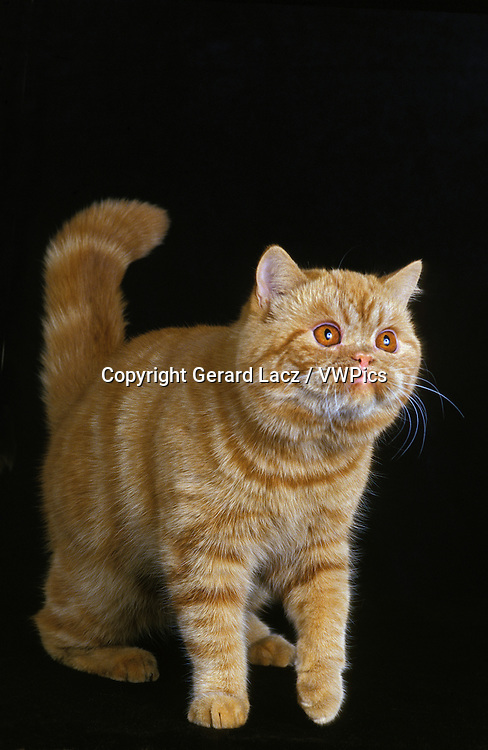 Exotic Shorthair Domestic Cat, Adult against Black Background