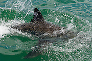 Breaching Great White Shark, Dyer Island, Western Cape, South Africa