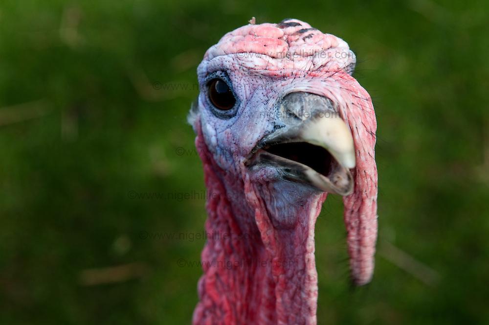 Turkey headshot