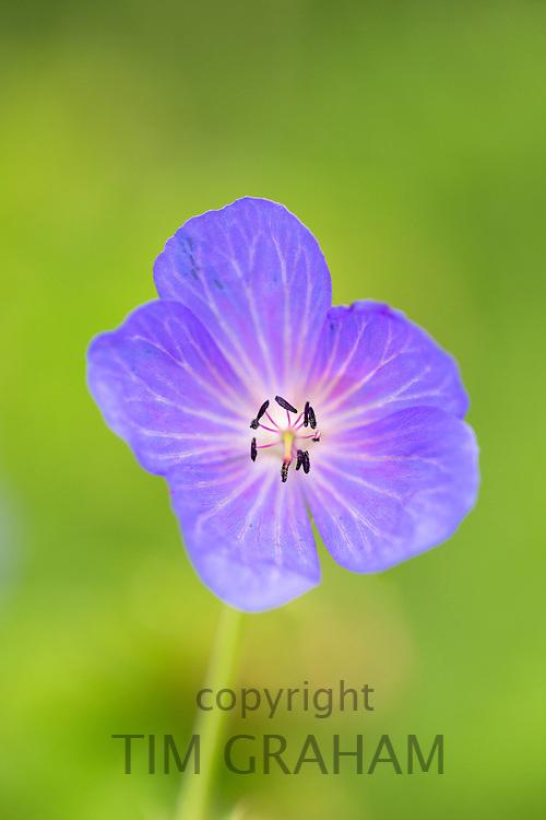 Purple wildflower in bloom in summer in Gloucestershire, UK