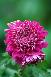 Chrysanthemum 'Gompie Super'