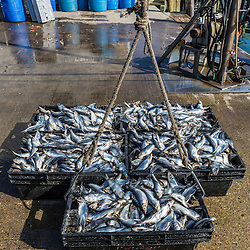 Herring ready to load onto a lobster boat at the Spruce Head Fisherman's Co-op in South Thomaston, Maine.