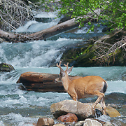 A Columbian black-tailed deer (Odocoileus hemionus columbianus) at Narada Falls in Mount Rainier National Park, Washington.  Photo by William Byrne Drumm.