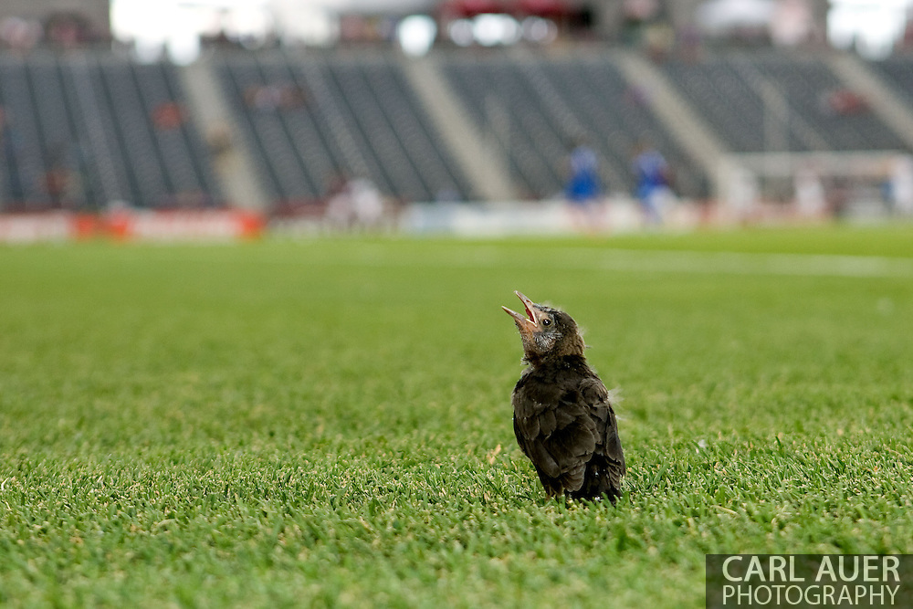 June 15th, 2013 - A juvenile bird hangs out on the pitch prior to the start of action in the MLS match between San Jose Earthquake and the Colorado Rapids at Dick's Sporting Goods Park in Commerce City, CO