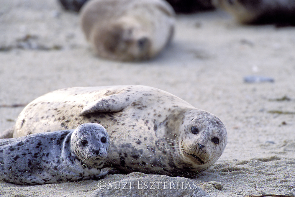 Harbor Seal<br /> Phoca vitulina<br /> Mother and young pup<br /> Monterey Bay, CA