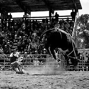 A bull rider struggles to get back to his feet after an unsuccessful ride.<br /> Augusta Rodeo 2011.