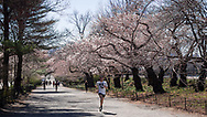 Jogger under the Cherry blossoms on the bridle path at the Central Park reservoir.