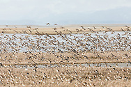 A flock of Western Sandpipers (Caldris mauri) takes flight over the Copper River Delta in Cordova in Southcentral Alaska. Spring. Morning.
