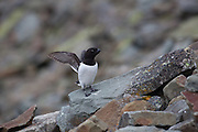 Little Auk flapping its wings, Svalbard