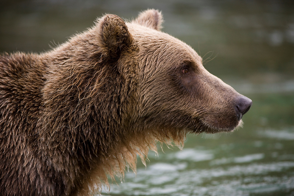 USA, Alaska, Katmai National Park, Kinak Bay, Brown Bear (Ursus arctos) along banks of salmon stream on autumn day