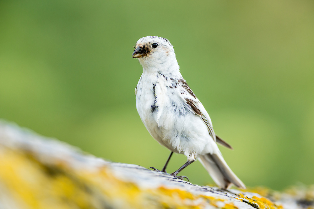 Snow Bunting (Plectrophenax nivalis) gathers a mouthful of insects for feeding its chicks on St. Paul Island in Southwest Alaska. Summer. Afternoon.