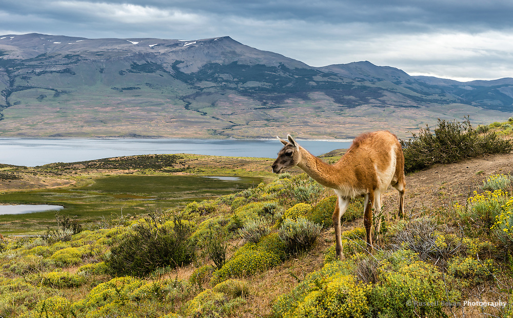 A lone Guanaco crosses my path in Torres del Paine National Park, Chile.