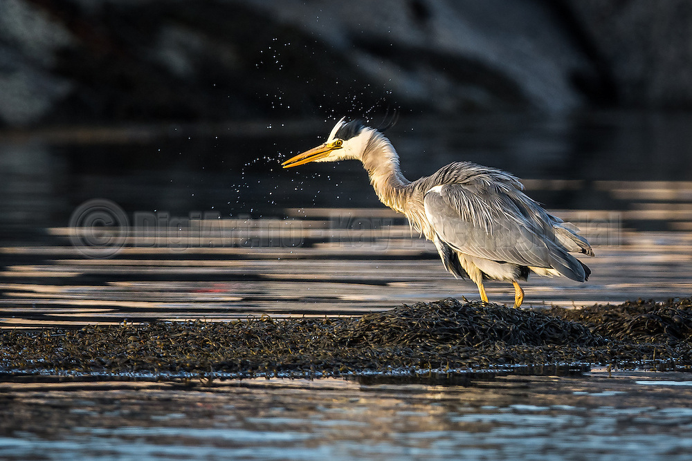 Gray Heron eating fish | Gråhegre spiser fisk