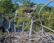 Osprey perched on branch next to stick nest in cypress tree along a lake shore, © 2007 David A. Ponton