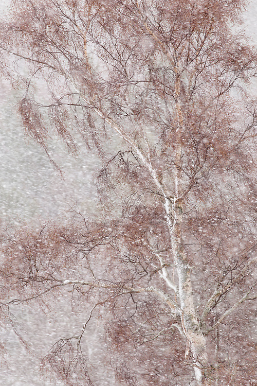 Silver Birch (Betula pendula) tree in blizzard, Scotland
