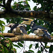 Oriental pied hornbill (Anthracoceros albirostris) is a species of hornbill in the Bucerotidae famil
