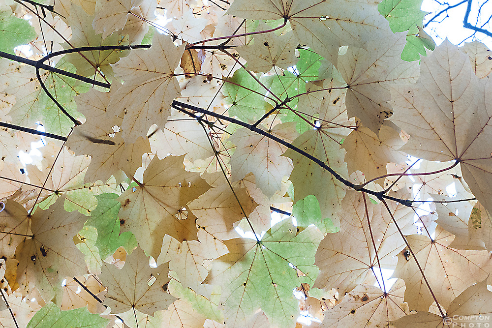Canopy of Fall Maple Leaves