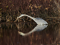 Great Blue Heron (Ardea herodias) searching for prey in a pond at, Broad Cove, , Nova Scotia, Canada,