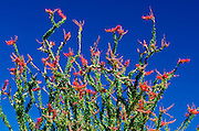 Ocotillo in the Coyote Mountains, Anza-Borrego Desert State Park, California USA