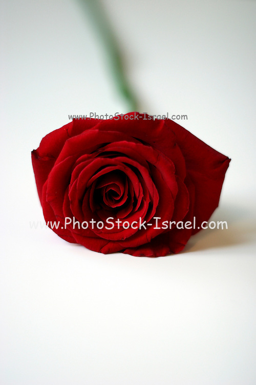 single Red rose of white background