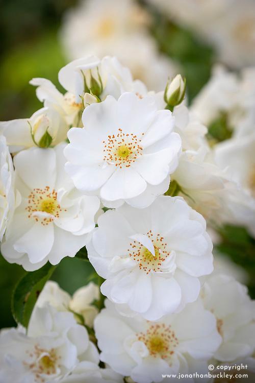 Rosa 'Flower Carpet White' syn. 'Noaschnee' AGM