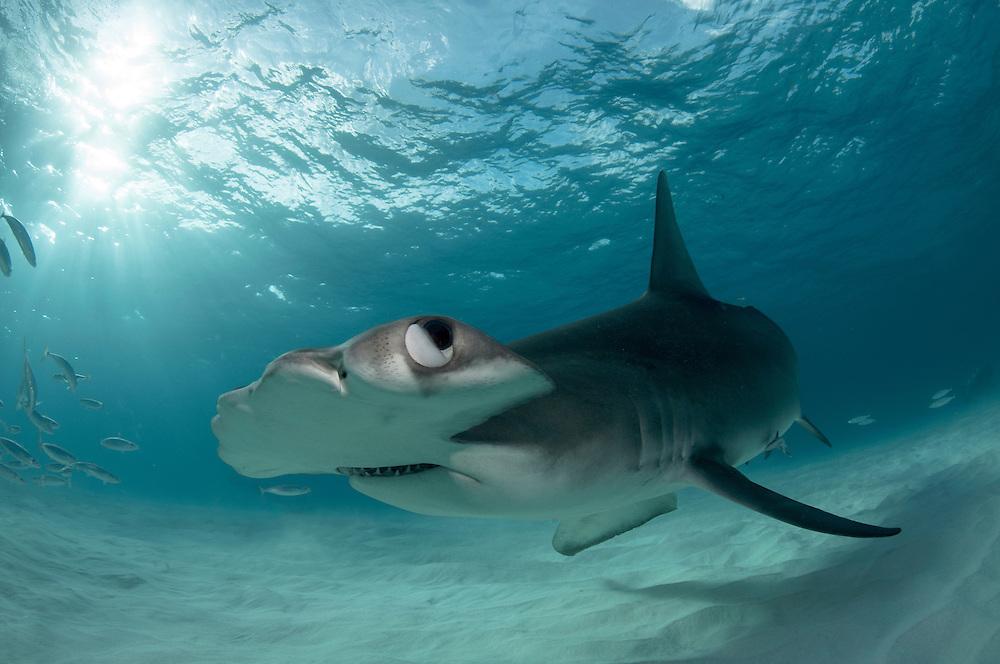 Great hammerhead shark and the sun