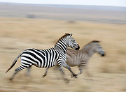 Zebra running fast during the annual great migration in Maasai Mara, Kenya.