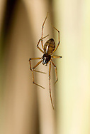 Bathyphantes gracilis - female. Abundant everywhere in grass and undergrowth, this small spider builds a hammock web, usually close to the ground.
