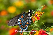 03004-011.16 Pipevine Swallowtail Butterfly (Battus philenor) male on Red Spread Lantana (Lantana camara) Marion Co., IL