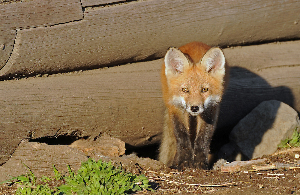 In an effort to avoid predators, foxes often den near human habitation. A fox family has successfully denned under this old barn for the last few years and one morning their young kit couldn't resist taking a peak at the outside world.
