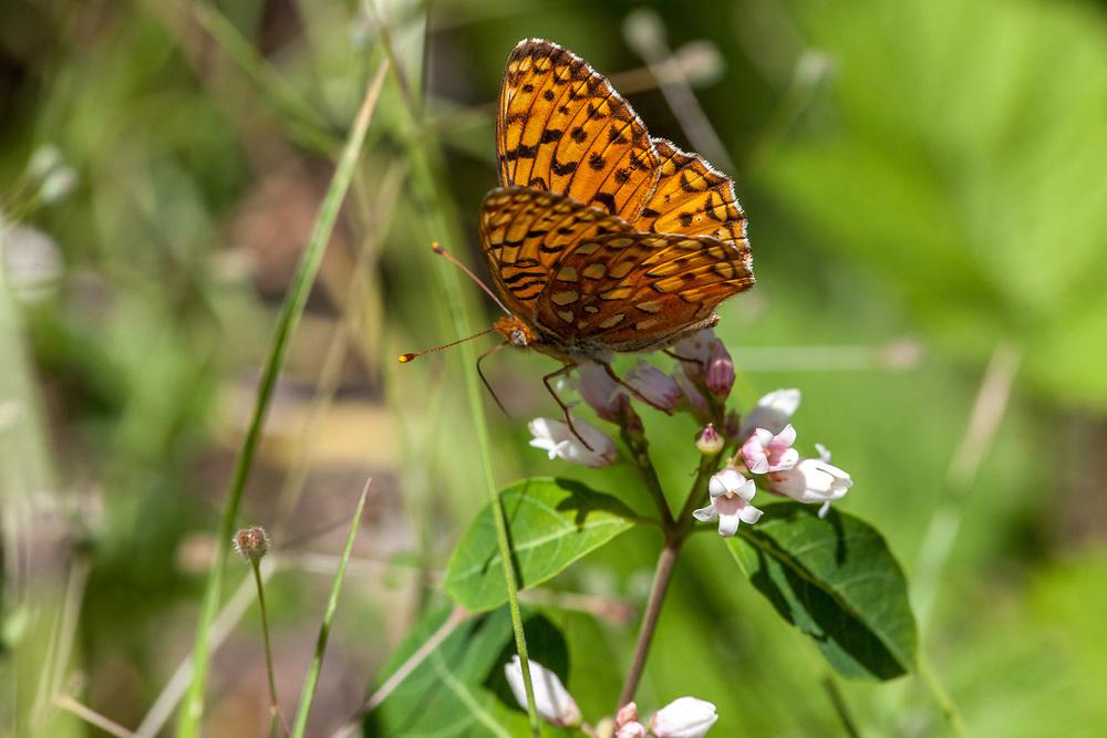 Speyeria e. egleis (Great Basin Fritillary) at Eagle Meadow, Tuolumne Co, CA, USA, on Bitter dogbane 22-Jul-12