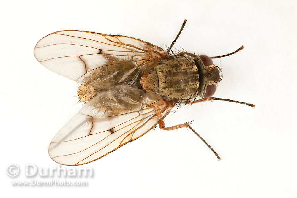 A female muscid fly in the family fannidae.