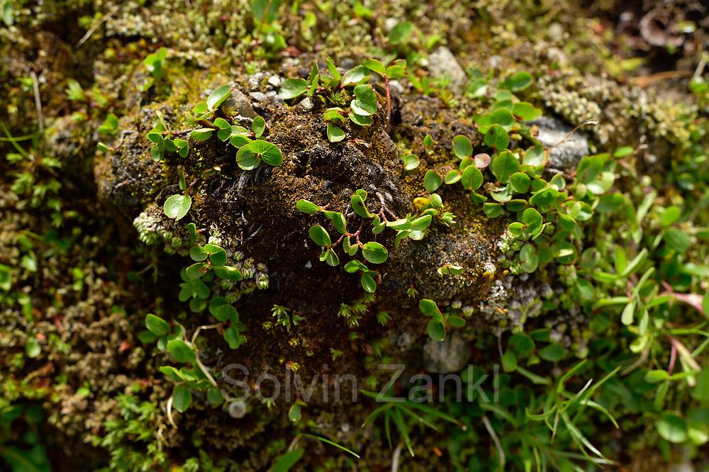 Dwarf willow (Salix herbacea), least willow, snowbed willow. High Tauern National Park (Nationalpark Hohe Tauern), Central Eastern Alps, Austria   Kraut-Weide (Salix herbacea) Nationalpark Hohe Tauern, Osttirol in Österreich