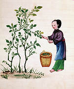 Gathering mulberry leaves to feed silkworms. Chinese painting on rice paper. 19th century