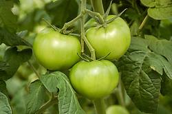 July 4, 2018 - Michurinsk, Tambov region, Russia - Growing tomatoes in greenhouses Michurinsk state agrarian University (Credit Image: © Aleksei Sukhorukov via ZUMA Wire)