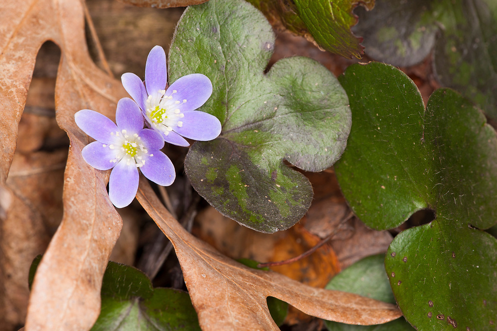 Round-lobed Hepatica (Anemone americana) flowers pushing up through old leaves from the surrounding woodland trees. Montrose section of the Wisconsin Ice Age Trail.