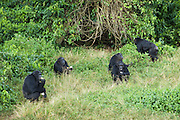 Chimpanzee<br /> Pan troglodytes<br /> Rehabilitated chimp group eating Posho meal<br /> Ngamba Island Chimpanzee Sanctuary<br /> *Captive